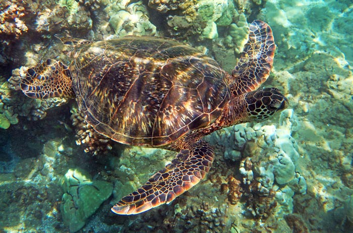 One of the sea turtles we saw while snorkeling past the left end of Wailea Beach.