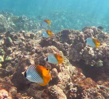 Small school of Threadfin Butterflyfish on the reef past the right end of Wailea Beach