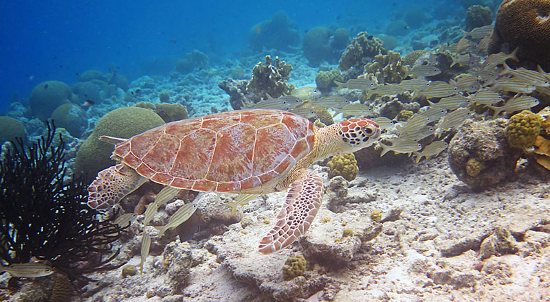 Beautiful Turtle & Fish Seen While Snorkeling In Bonaire