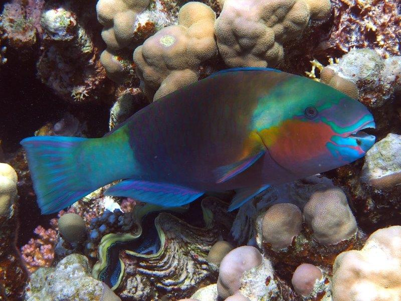 Red Sea Egypt Bullethead Parrotfish