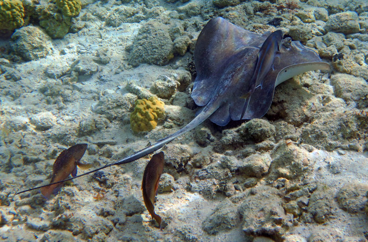 A Southern Stingray with jack and grouper shadows