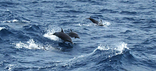 A pod of leaping dolphins we saw on the trip to Klein Curacao.