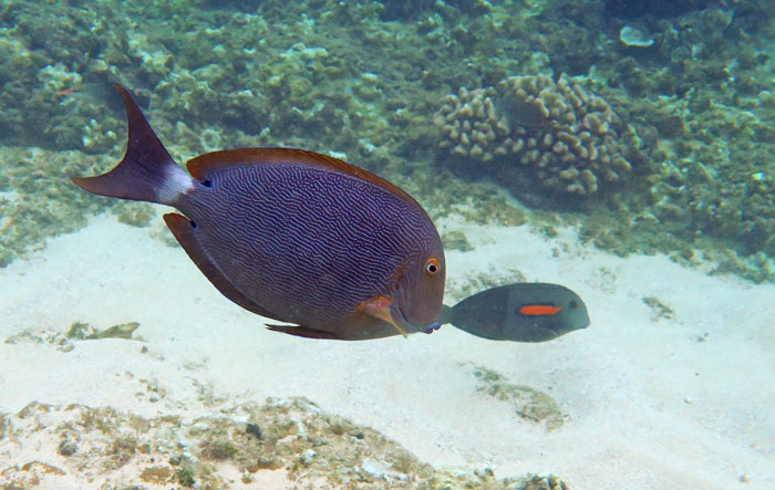 Snorkeling with a Bluelined Surgeonfish and an Orangeband Surgeonfish at Hideaways Beach.