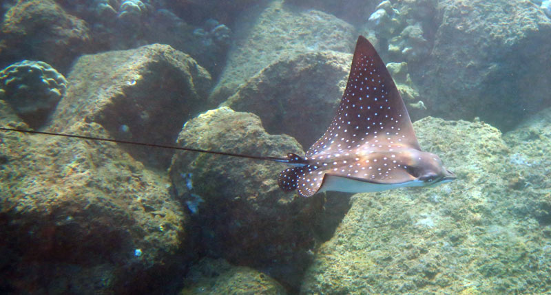 Spotted Eagle Ray at Koloa Landing