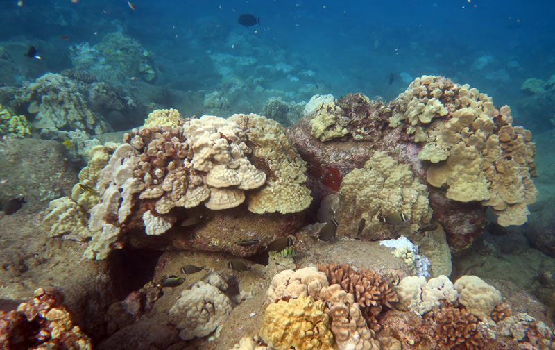 Healthy Corals You Can See While Snorkeling Koloa Landing
