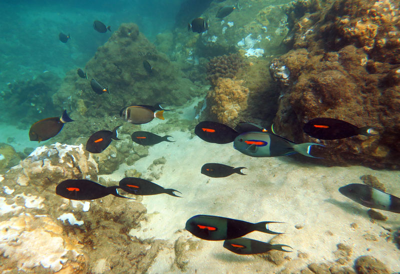 School of Orangeband Surgeonfish and others at Tunnels