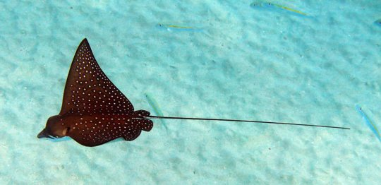 We usually see a Spotted Eagle Ray when we snorkel Black Rock.