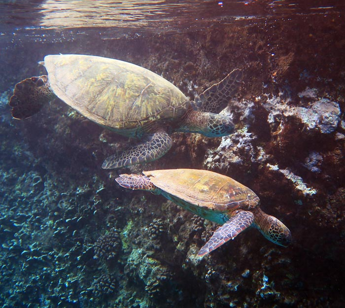 On our last visit, we saw seven turtles at Black Rock, including this pair on the deep outer vertical wall.