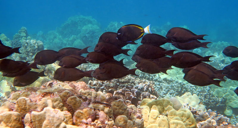 School of Lavender Tang with a Goldrim Tang on the reef past the right end of Wailea Beach