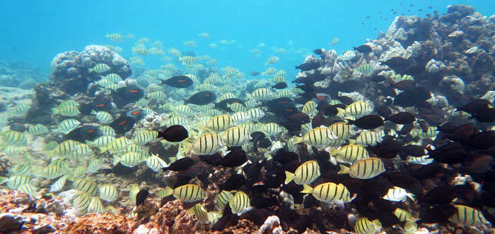 Find Schools Of Fish While Snorkeling Kauai