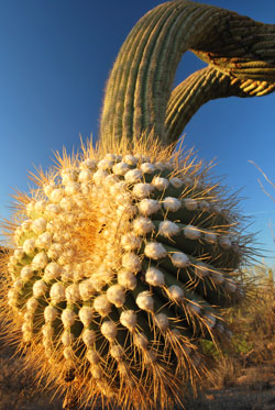 Saguaro Cactus in Tucson by Galen