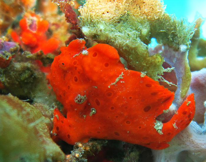 Our guides pointed out frogfish on three separate occasions, a rare and hard to find treat!