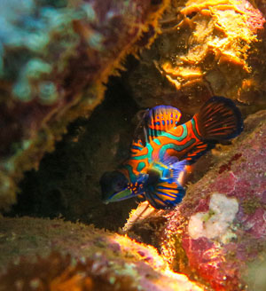 The rare Mandarinfish can be found at dusk right off the dock at the Alami Alor Resort.