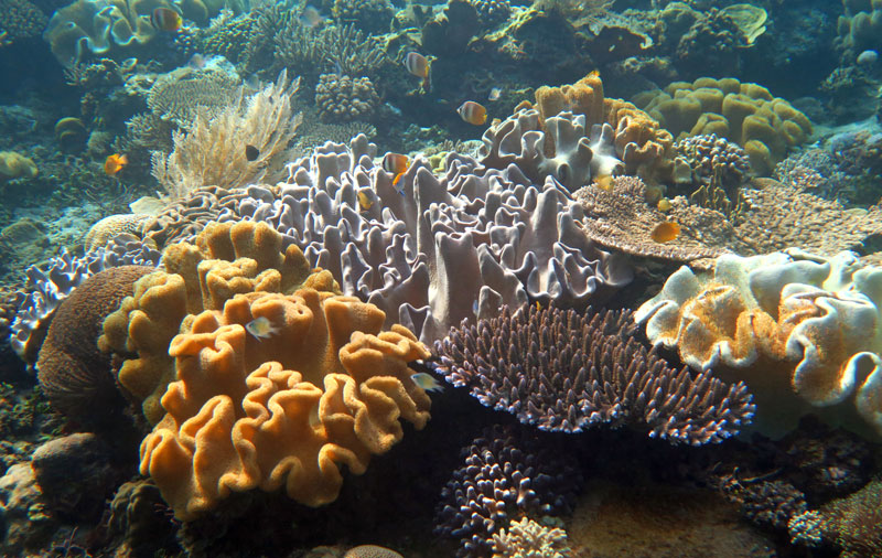 A mix of hard corals, soft corals and leather corals, yet another amazing Alor reef.