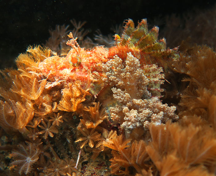 This Scorpionfish is well camouflaged.