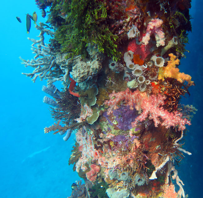 A local dock had pilings covered in gorgeous corals and sponges, and several frogfish.