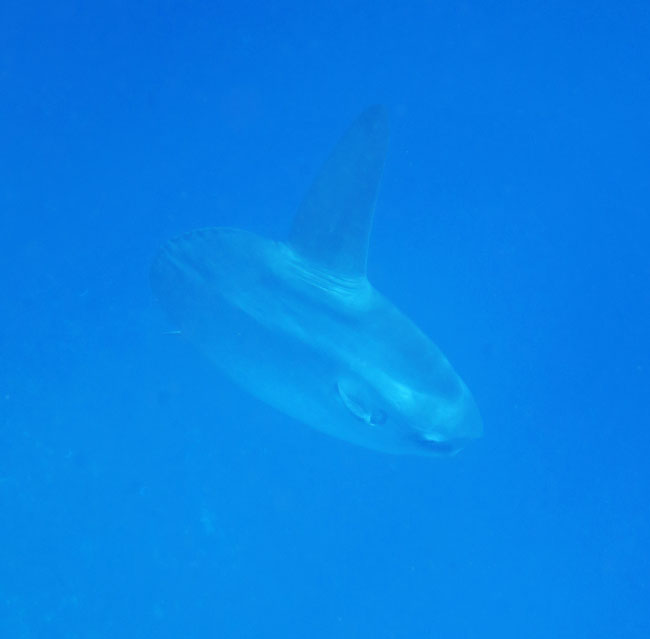 Bad picture of a really big fish, a Mola Mola we were lucky to see.