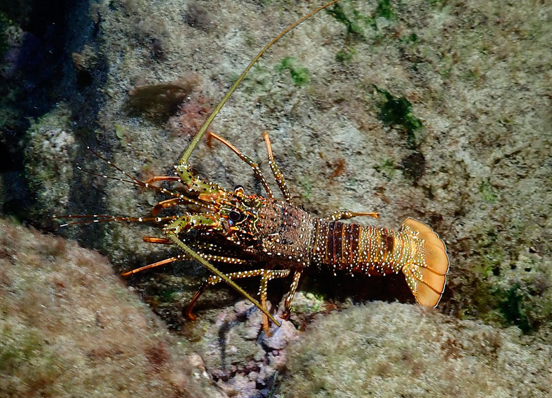 There were many Spotted Spiny Lobsters out and about on the Anse Chastanet reef when we snorkeled it at night.