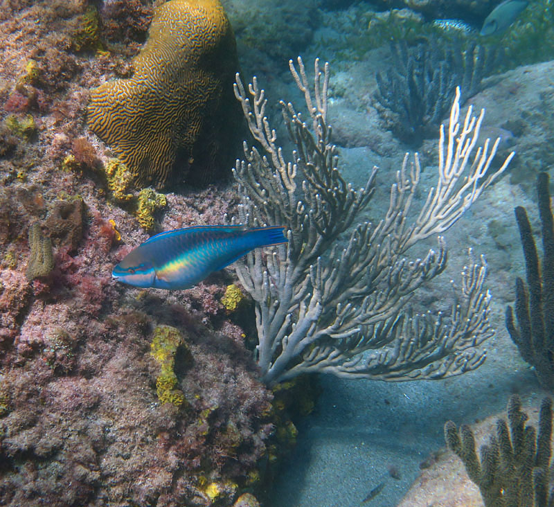 Anse Chastanet snorkeling has soft corals, fun boulder topography, and good numbers of fish.