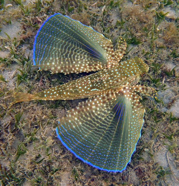 The gorgeous Flying Gurnard we spotted snorkeling the sea grass beds off Anse Chastanet Beach.