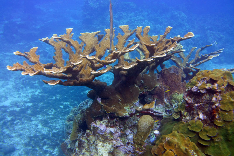 There are a couple large beautiful Elkhorn Corals on the Anse Chastanet House Reef.