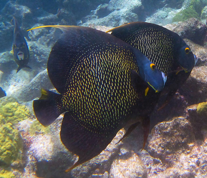 Three French Angelfish - Aruba