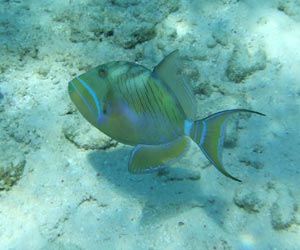 Queen Triggerfish - Belize