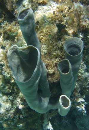 Tube Sponges - Belize