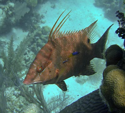 Hogfish seen while snorkeling Glovers Reef