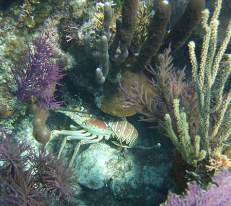 Caribbean Spiny Lobster - Glover's Reef - Belize
