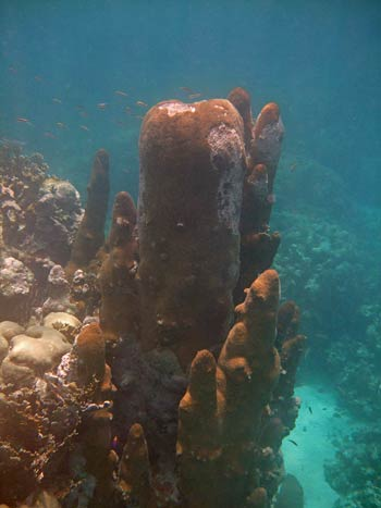 Pillar Coral - Glover's Reef