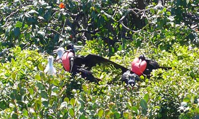 Nesting Magnificent Frigatebirds - Belize
