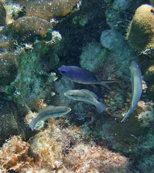 Small Chromis and immature fish