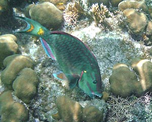Parrotfish at Hol Chan