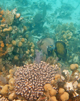 Coral fields and French and Grey Angelfish - Little Water Caye - Belize