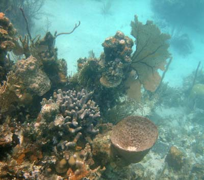 Reef life you can see snorkeling Little Water Caye - Belize