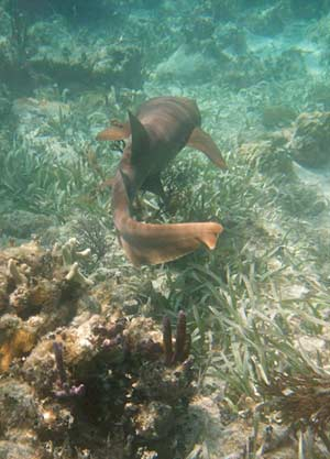 Nurse shark seen snorkeling Mexico Rocks