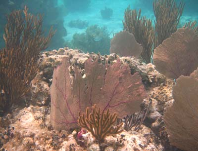 Sea Fans and Sea Rods at Mexico Rocks
