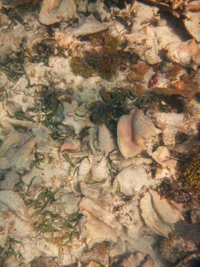 Pile of Conch Shells - Belize