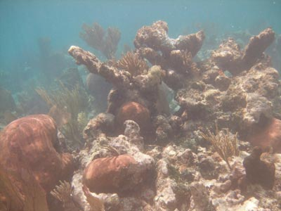 Beat Up Elkhorn Coral