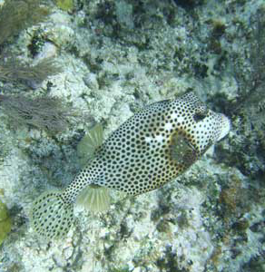 Spotted Trunkfish at Rendezvous Caye