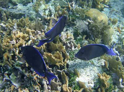 Blue Tang over the Rendezvous Caye Reef