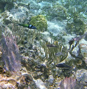Sea Fans, Rods and small and immature fish at Tres Cocos