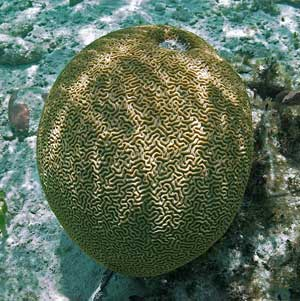 Brain Coral at Tres Cocos