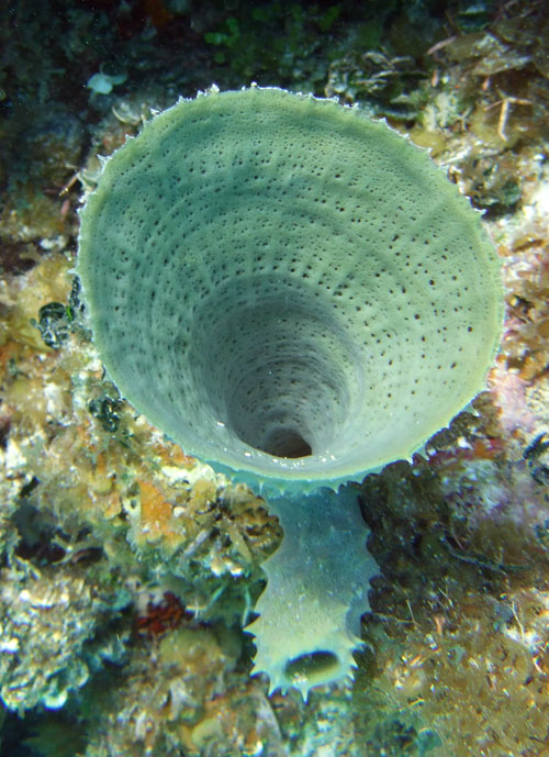 Belize is a great place to see a variety of beautiful sponges like this one.