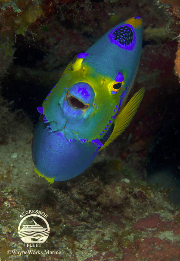 Get up close and personal with Queen Angelfish in Belize.