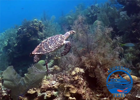 Hawksbill Turtle gliding over a healthy Belize reef.