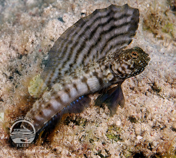 See cool fish like this Sailfin Blenny.