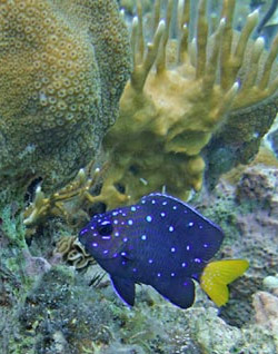 Yellowtail Damselfish - Seen when snorkeling Belize.