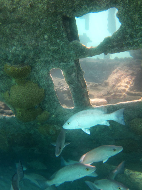 Gray Snappers At The Nonsuch Island Shipwreck